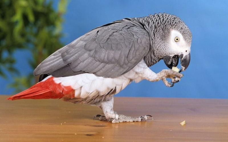 A grey parrot, similar to Nigel, who was returned to his owner speaking a different language - © Juniors Bildarchiv GmbH / Alamy