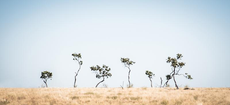 Trees sticking out of a grassland in Muttaburra
