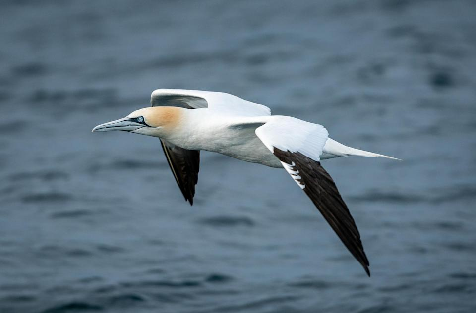Gannet in the English Channel