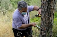 Lebanese entomologist Nabil Nemer inspects a sick pine tree in search for harmful insects