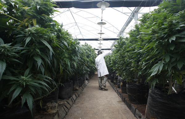 New York medical marijuana companies file a lawsuit against the Department of Health