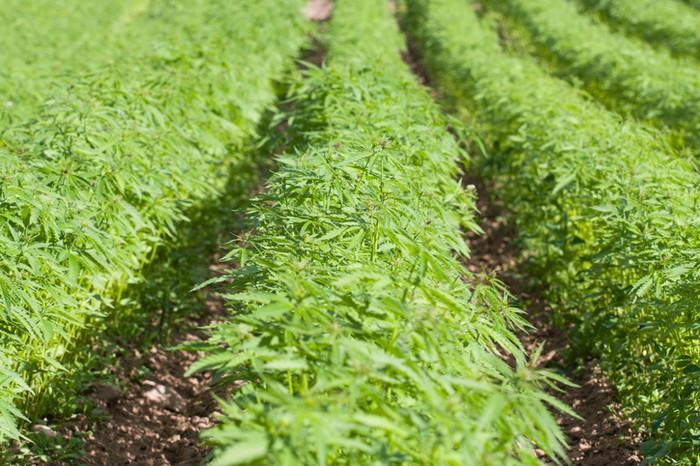 Close-up of rows of hemp plants growing outdoors.