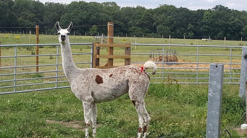 Llama antibodies have 'significant potential' as Covid-19 treatment – study (University of Reading/PA)