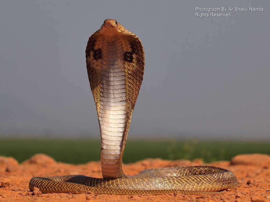 It's not only birds that live in Mangalajodi. This <strong>Indian Cobra</strong> (<em>Naja naja</em>) spreads its hood out in a threat gesture.