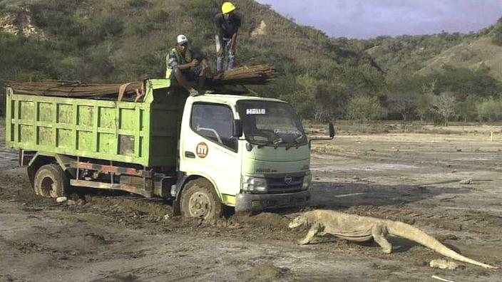 Komodo dragon and truck on Rinca island