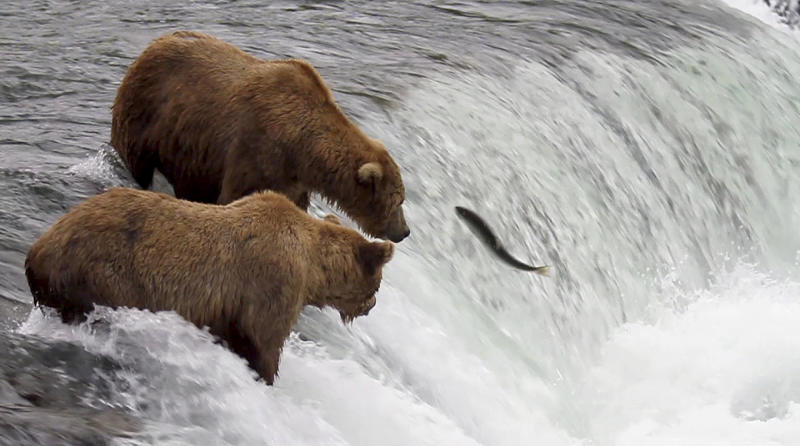 In this photo taken July 17, 2012 and provided by explore.org, brown bears are shown catching salmon at Brooks Falls, Katmai National Park in Alaska. A new video initiative will bring the famed brown bears of the park directly to your computer or smartphone. In a partnership with explore.org, a live webstream will be unveiled Tuesday that will allow the public to log on and see the brown bears in their natural habitat, including views of the bears catching salmon at Brooks Falls. (AP Photo/explore.org, Tahitia Hicks)