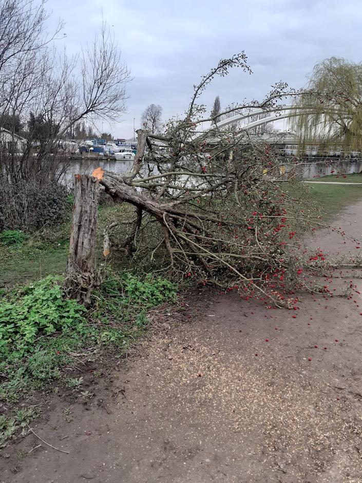 Trees cut down on busy roads, walkways and along the banks of the River Thames in the Cowey Sale area of Walton-on-Thames, Surrey. See SWNS story SWNNtrees. An upmarket town is in uproar after a chainsaw vandal felled more than a dozen trees in a spate of mysterious attacks. Huge trees by busy roads, walkways and along the banks of the River Thames have been scythed down by the phantom lumberjack. Police are investigating the seemingly random attacks that targeted trees in the Cowey Sale area of Walton-on-Thames, Surrey, which is in an area of outstanding natural beauty. Locals started noticing stumps appearing in the picturesque area at the end of last month, with some saying similar vandalisms occurred in nearby Weybridge.