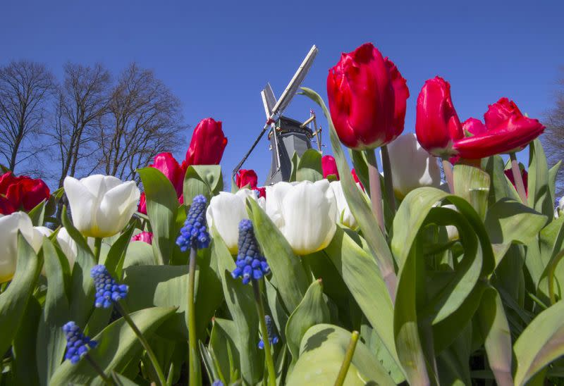 FILE PHOTO: A windmill is seen behind tulips at the Keukenhof park, also known as the Garden of Europe, in Lisse