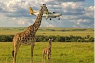 """<p>That giraffe must have really wanted to say """"what's up?"""" to the passengers on that plane. </p>"""