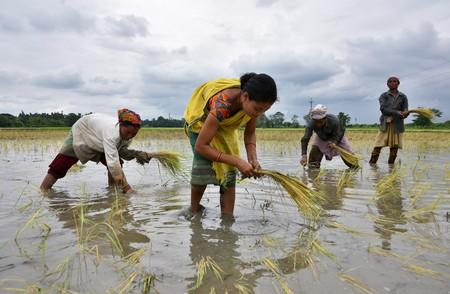 FILE PHOTO: Women plant rice saplings at a paddy field in a village in Nagaon district