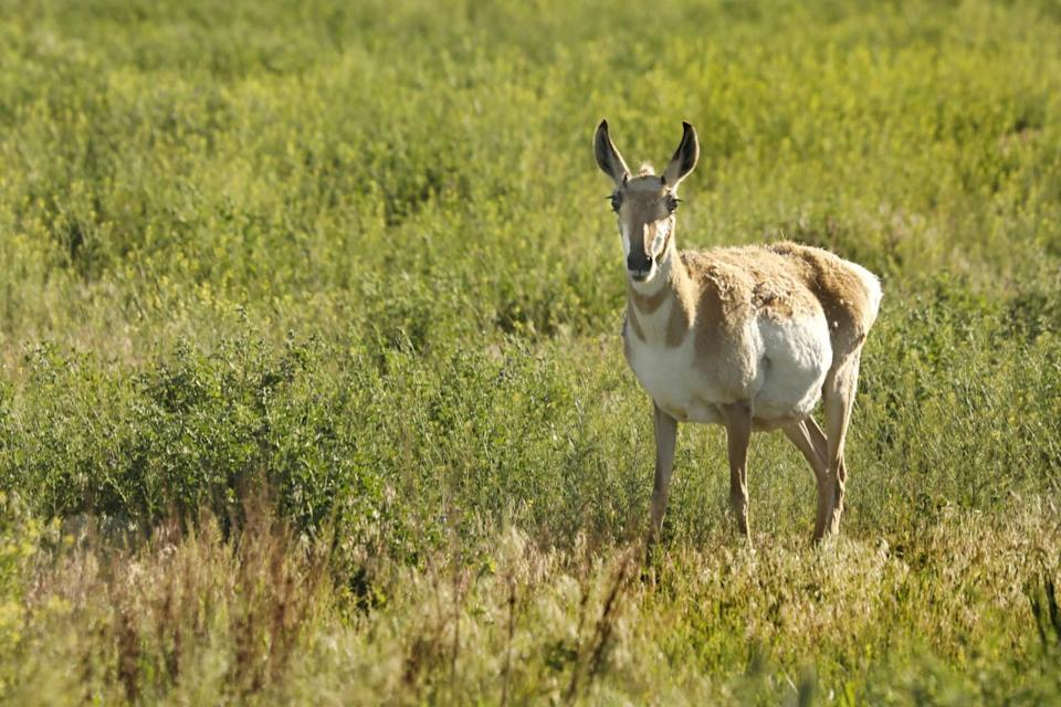 A pronghorn antelope stands amid sage brush.