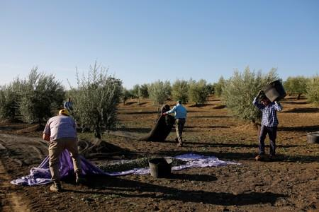 Workers harvest olives in an olive grove in Porcuna, southern Spain