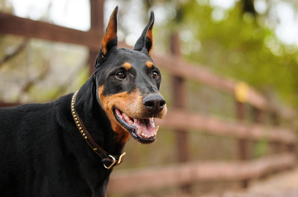 "<p>Bred to do double duty, this breed can be a serious protector and affectionate companion. <a href=""https://www.dailypaws.com/dogs-puppies/dog-breeds/doberman-pinscher"" rel=""nofollow noopener"" target=""_blank"" data-ylk=""slk:Doberman pinschers"" class=""link rapid-noclick-resp"">Doberman pinschers</a> have historically been powerful police and military dogs, rescue dogs, and therapy dogs. Plus, they're known for their loyalty and fearlessness.</p>"