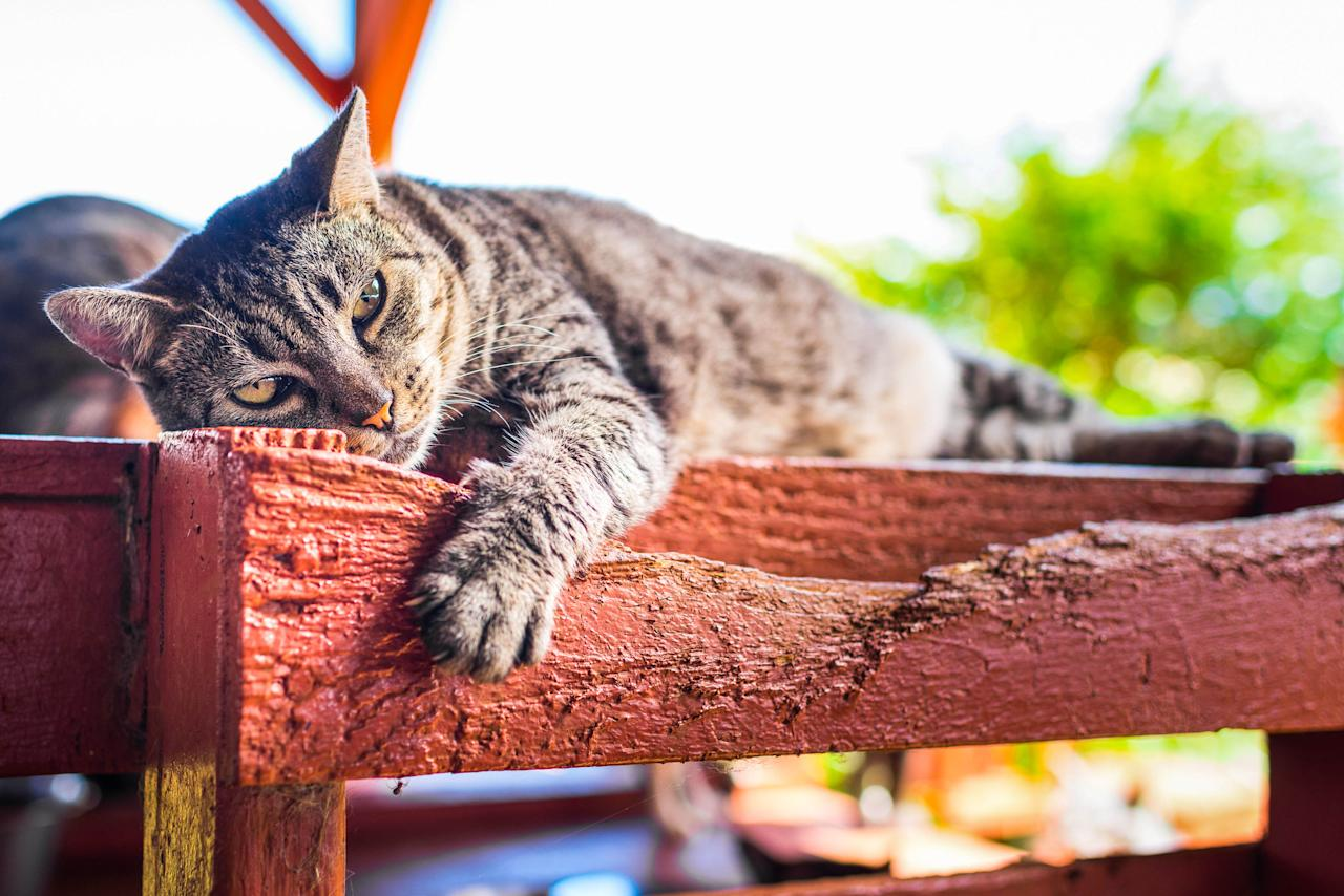 <p>A cat relaxes in the shade at the Lanai Cat Sanctuary in Hawaii. (Photo: Andrew Marttila/Caters News) </p>