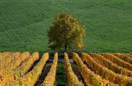 Late autumn colours in vineyards mark a change in the season in Soultz in the Alsace region of eastern France, in this October 22, 2015 file photo REUTERS/Jacky Naegelen/Files