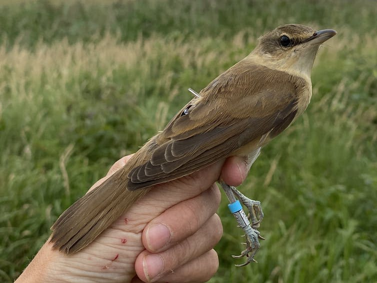 A great reed warbler being held in the hand of a researcher with a datalogger tracker attached to its leg.