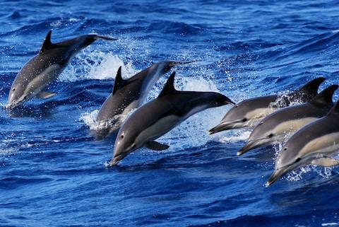 Swim with dolphins in the Azores with Artisan Travel - Credit: Artisan Travel/Futurismo Azores Adventure