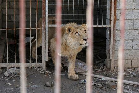 Simba the lion, one of two surviving animals in Mosul's zoo along with Lola the bear, looks on a military helicopter flying over of the Mosul's zoo, Iraq, February 2, 2017. Picture taken February 2, 2017. REUTERS/Muhammad Hamed