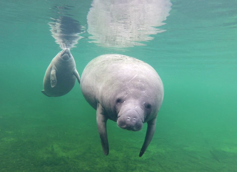 Two healthy looking manatees under water in Florida.