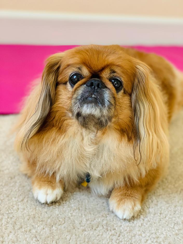 Arnie is a Pekingese living his best quarantine life in Sacramento, California. He thinks nap breaks at work should be mandatory.