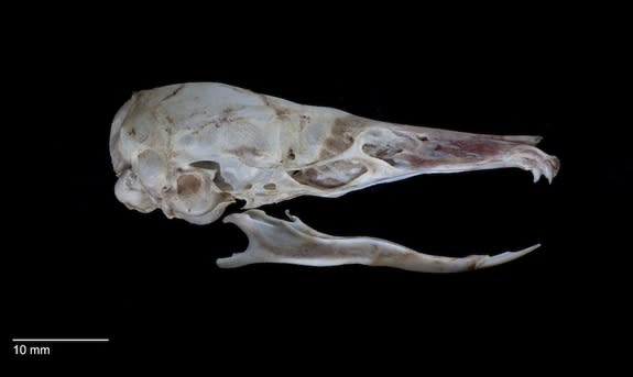 This view of the rat's skull reveals its lack of teeth.
