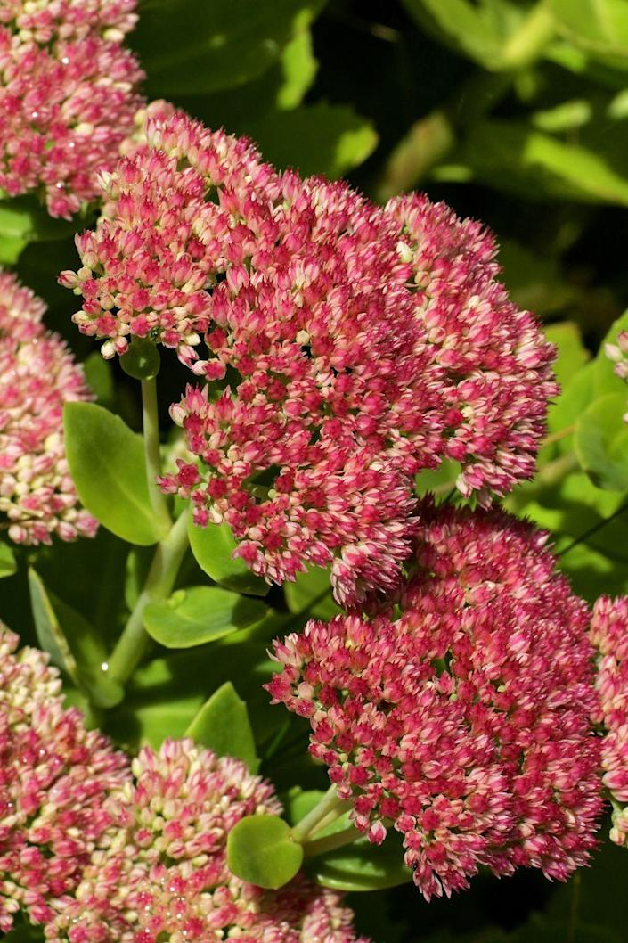 """<p>If you're looking for a low-maintenance perennial, these succulents are the way to go. Sedum tolerate lots of different soil types, and late-season pollinators adore them. They're also incredibly cold hardy, so they can be grown in most climates. They make great long-lasting cut flowers, too. Leave the flower heads standing for winter interest in your garden.</p><p><a class=""""link rapid-noclick-resp"""" href=""""https://www.greatgardenplants.com/collections/all/products/autumn-joy-stonecrop?variant=37358135443623"""" rel=""""nofollow noopener"""" target=""""_blank"""" data-ylk=""""slk:SHOP NOW"""">SHOP NOW</a> </p>"""