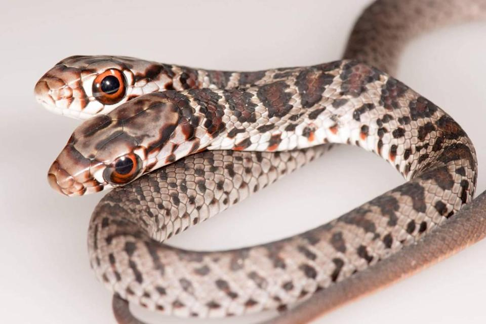 A rare two-headed southern black racer snake was found at a home in Palm Harbor, Florida, in Pinellas County, the Florida Fish and Wildlife Conservation Commission's Research Institute said on Oct. 21, 2020.