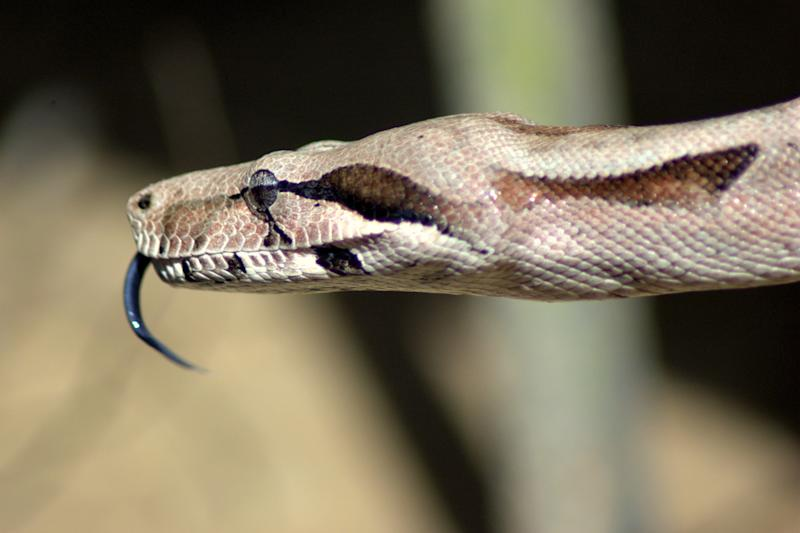 Boa, in Brazil. The snakes feel the smell by its tongue. That´s why they keep on shaking it while walking aroung.