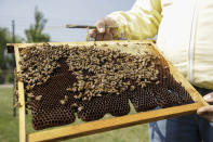 Beekeeper Francesco Capoano holds a frame at an apiary in Milan, Italy, Thursday, April 22, 2021. A bee collective is introducing 17 new colonies to their new hives on Earth Day, bringing to 1 million Milan's population of honey bees housed in boxes specially designed by artists throughout the city. The seven-year-old project is aimed at educating the public about the importance of bees to the environment, while boosting their population and providing a sweet treat of honey. It is billed as the biggest urban bee collective in Europe. (AP Photo/Luca Bruno)