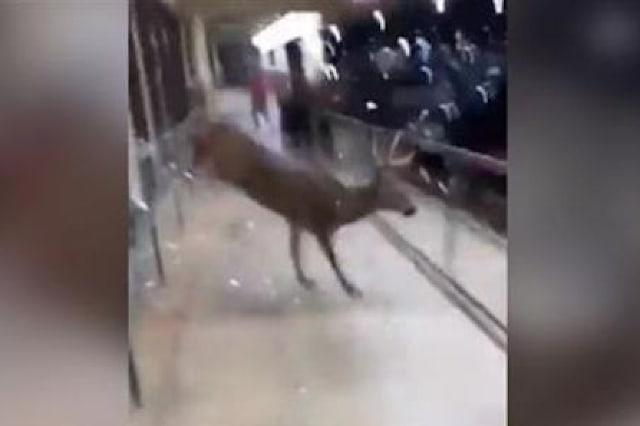 Deer makes dramatic exit after getting trapped in shop