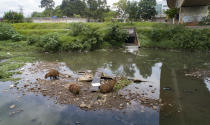 Capybaras gather near a sewage canal that flows into the Pinheiros River in Sao Paulo, Brazil, Thursday, Oct. 22, 2020. Affected by domestic sewage and solid wastes discharges for years, Sao Paulo's state government is again trying to clean the Pinheiros River, considered one of the most polluted in Brazil. (AP Photo/Andre Penner)
