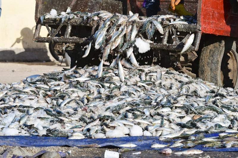 "Greenpeace said ""hundreds of thousands of tonnes of fish are made into meal or oil for export, to the detriment of about 40 million African men and women"""