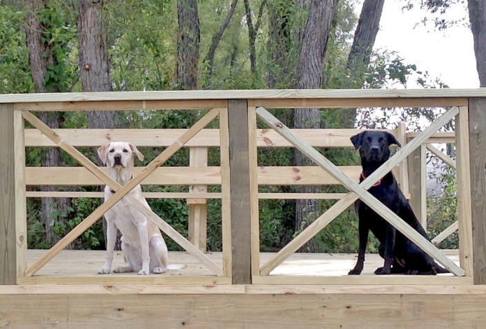 Black lab Sophie and Bailey developed a potentially fatal heart disease but eventually recovered. (Courtesy Martha Martin)