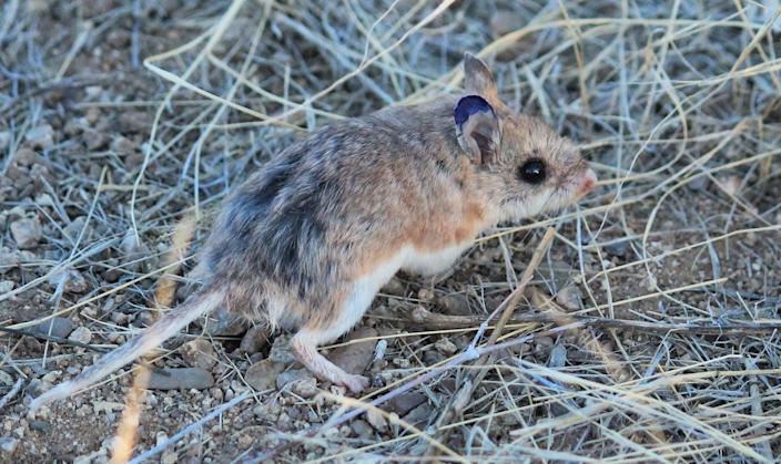 "<span class=""caption"">Small but fierce: Grasshopper mice can eat prey that are toxic to other mice. </span> <span class=""attribution""><span class=""source"">Lauren Koenig</span>, <a class=""link rapid-noclick-resp"" href=""https://creativecommons.org/licenses/by-nd/4.0/"" rel=""nofollow noopener"" target=""_blank"" data-ylk=""slk:CC BY-ND"">CC BY-ND</a></span>"