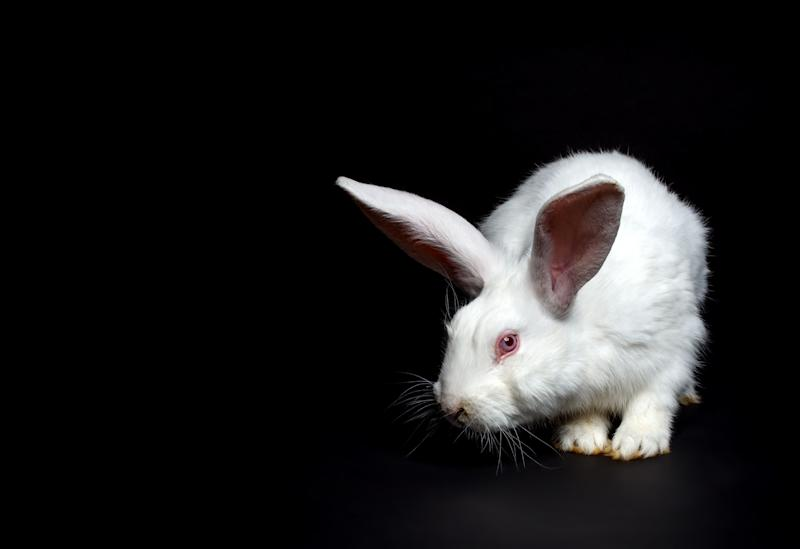 A rabbit with altered DNA (not pictured) mysteriously vanished last year at a University of Michigan lab, a new report shows. (Photo: grafvision via Getty Images)