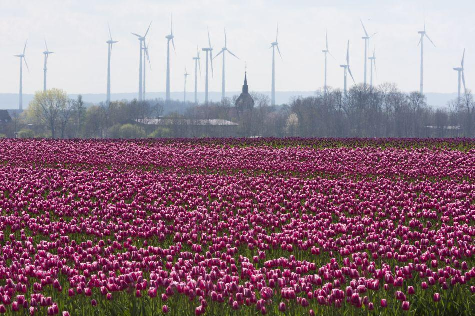 Tulips in hues of purple blossom in a field in Magdeburg, Germany.