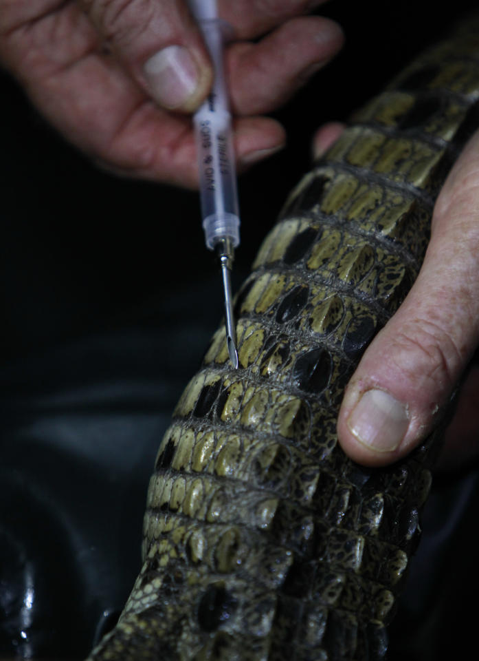 In this Nov. 28, 2011 photo, a wildlife biologist prepares to inject a microchip into a newly captured crocodile during a nighttime survey of the crocodiles in one of the cooling canals adjacent to the Turkey Point Nuclear Power Plant in Homestead, Fla. Microchips are used as a reference ID, much like a thumb print, to scan the captured animal, as well as to track any animal that falls prey to others as a result of cannibalism. Biologists said one crocodile was found with eight chips inside its belly. The crocodile monitoring program began in 1978, a year after employees stumbled upon a crocodile nest in the plant's cooling canal system. The initial goal was to ensure that the plant did no harm to the species but over the last three decades it has helped raise the number of crocodiles to more than 1,500 today. It is now classified as threatened, a small step toward the specie's survival. (AP Photo/Wilfredo Lee)