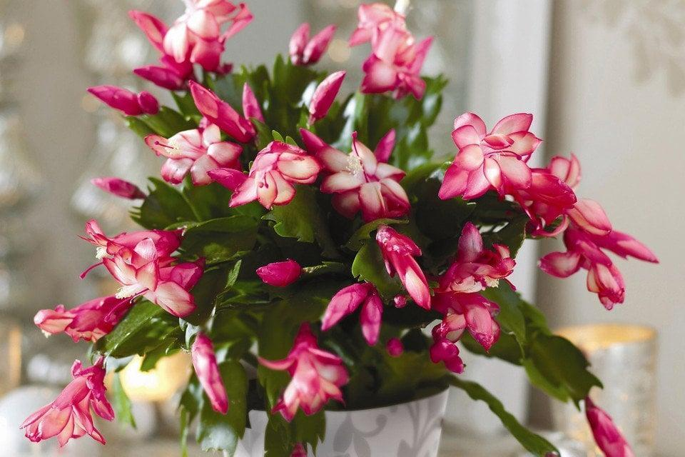 <p>Cacti are cute, but the <span>Christmas cactus</span> ($11) is even better because it blooms!</p>