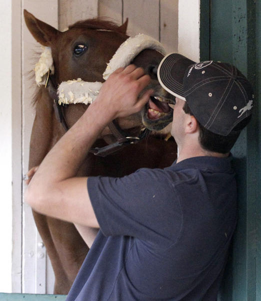 Horse therapist Tyler Cerin looks after Kentucky Derby winner I'll Have Another after arriving at Pimlico Race Course in Baltimore, Monday, May 7, 2012. I'll Have Another is expected to compete in Baltimore's Preakness Stakes horse race on May 19. (AP Photo/Patrick Semansky)