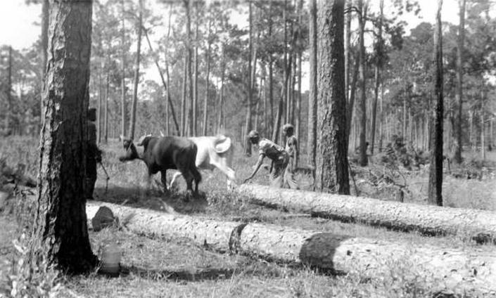 In this photograph, from the State Archives of Florida, loggers use a team of oxen to haul away longleaf pine logs near Mount Pleasant, Fla., on Aug. 7, 1936. When European settlers came to North America, fire-dependent savannas anchored by lofty pines with footlong needles covered much of what became the southern United States. Yet by the 1990s, logging, clear-cutting for farms and development and fire suppression had all but eliminated longleaf pines and the grasslands beneath where hundreds of plant and animal species flourished. Now an intensive effort in nine coastal states from Virginia to Texas is bringing back the pines named for the long needles prized by Native Americans for weaving baskets. (Florida Forest Service/State Archives of Florida via AP)