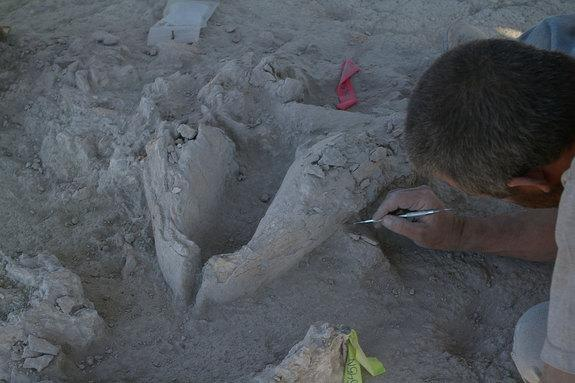 A gomphothere jawbone as it was found in place, upside down, at the El Fin del Mundo site in Mexico.