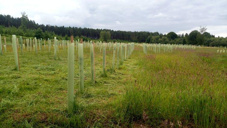 Rows of newly planted trees in a field