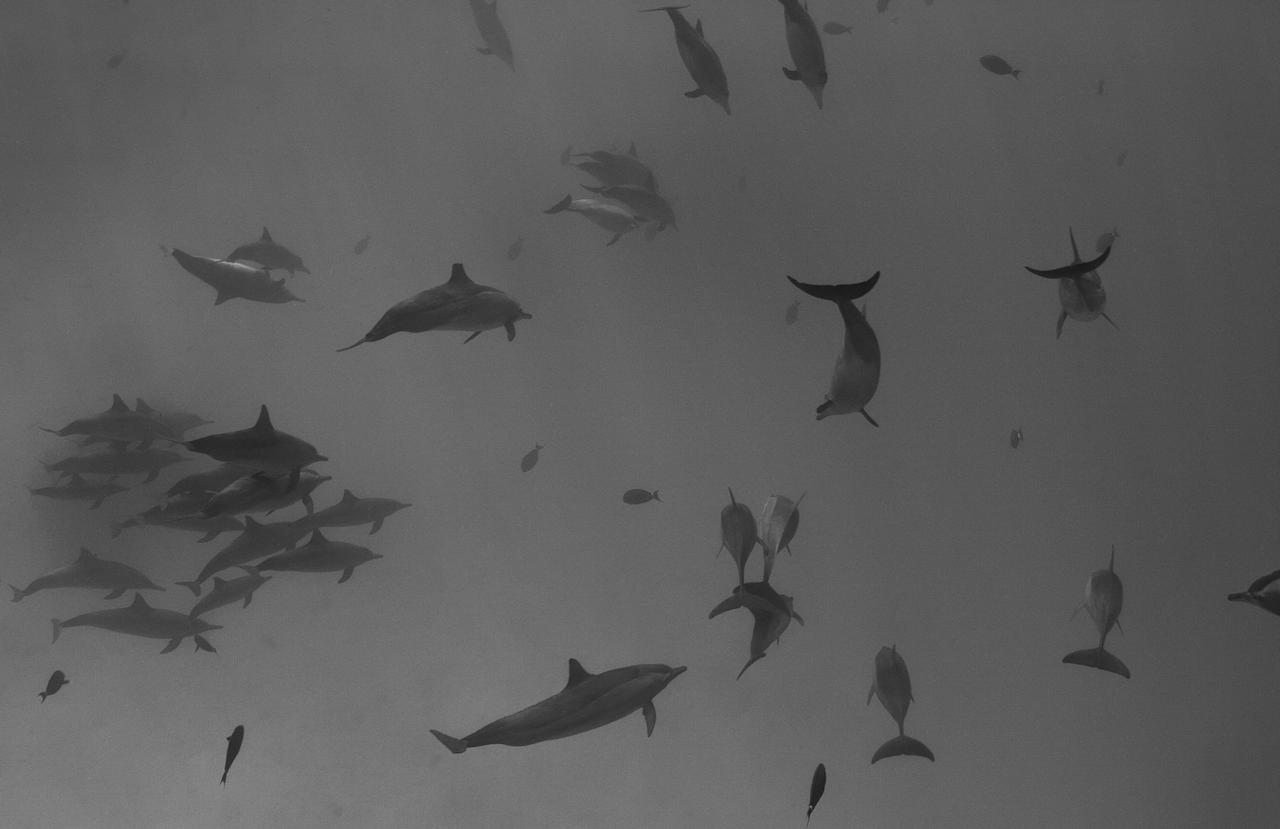 <p>A pod of dolphins glide through the water in this haunting image, taken by the photographer while snorkeling. (Julia Spat/SWNS) </p>