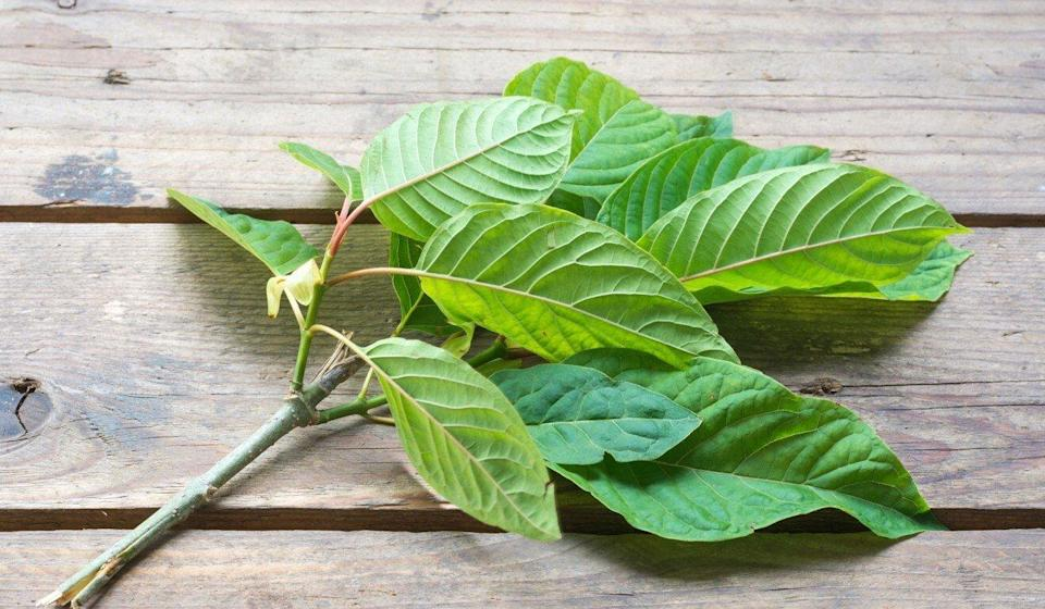 Kratom, also known as ketum, is made from the leaves of the Mitragyna speciosa. Photo: Shutterstock