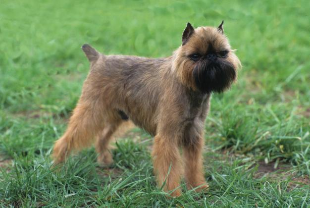 """<div class=""""caption-credit""""> Photo by: MARY BLOOM</div><div class=""""caption-title"""">Brussels Griffon</div>With a <a href=""""http://www.vetstreet.com/dogs/border-collie"""" rel=""""nofollow noopener"""" target=""""_blank"""" data-ylk=""""slk:Brussels Griffon"""" class=""""link rapid-noclick-resp"""">Brussels Griffon</a>, you're never alone. These affectionate dogs possess an unshakable desire to be with their favorite person at all times. When a Griff feels abandoned or lacking in attention, he will express his frustration by converting toilet paper into confetti, overturning trash receptacles and peeing on your favorite Oriental rug. Take him with you when you can and train him early on to accept necessary separation with equanimity - or face the consequences."""