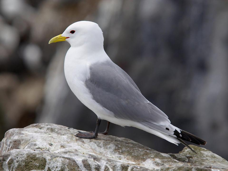Kittiwake numbers have collapsed by 40 per cent globally since the 1970s, and Lowestoft is a key nesting area for the birds (Getty )