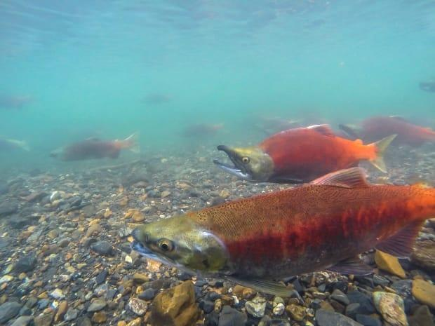 Biologist warns the Kootenay Lake ecosystem is 'out of balance' and requires agressive provincial intervention to save freshwater salmon and an important sports fishery.  (Steve Hossack/CBC - image credit)