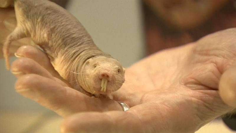 Naked mole rats defy the biological law of aging | Science