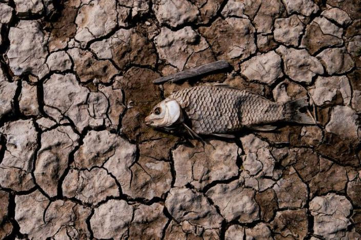 FILE PHOTO: Remains of a fish are seen among cracked mud on the dried bed of Poyang lake, China
