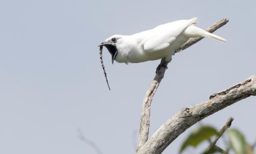 Fowl language: Amazonian bird's mating call noisiest in world